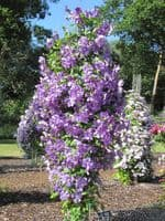 Clematis Victoria (Jackmanii group)